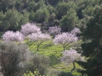 Almond trees in mallorca